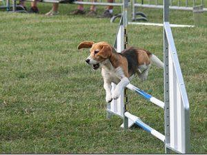 Bray bocage éducation - éducateur canin positif dans l'oise et élevage de beagle