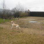 éducation canine labrador
