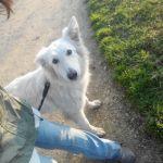 éducation canine berger blanc suisse